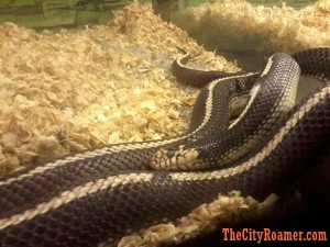 Snake at Zoobic Safari's Serpentarium